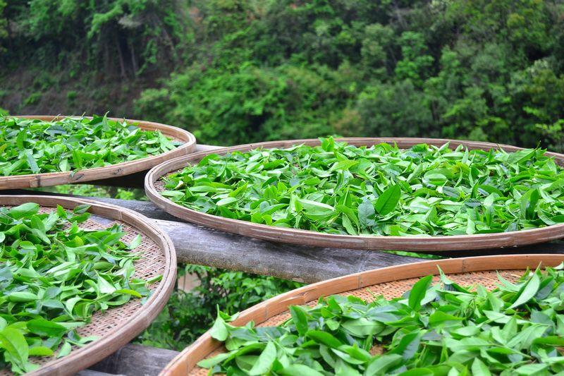 Улун чай обладает рядом преимуществ для здоровья