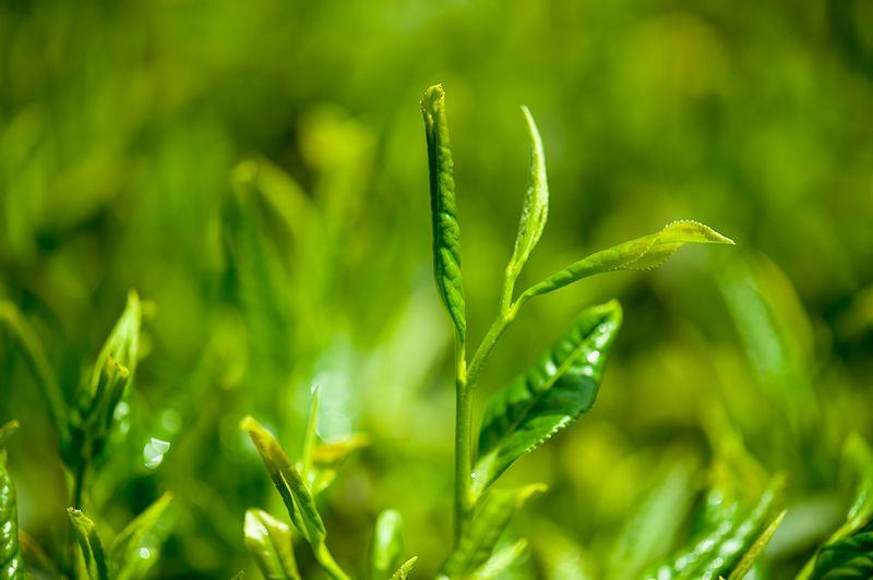 Потенциальная польза чая улун для здоровья